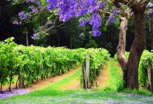 Bago Vineyards - Accommodation Georgetown