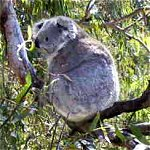 Koala Conservation Centre - Accommodation Georgetown
