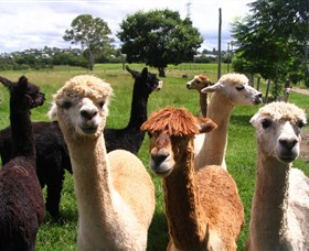 Banyandah Alpacas - Accommodation Georgetown