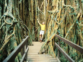 Curtain Fig Tree - Accommodation Georgetown