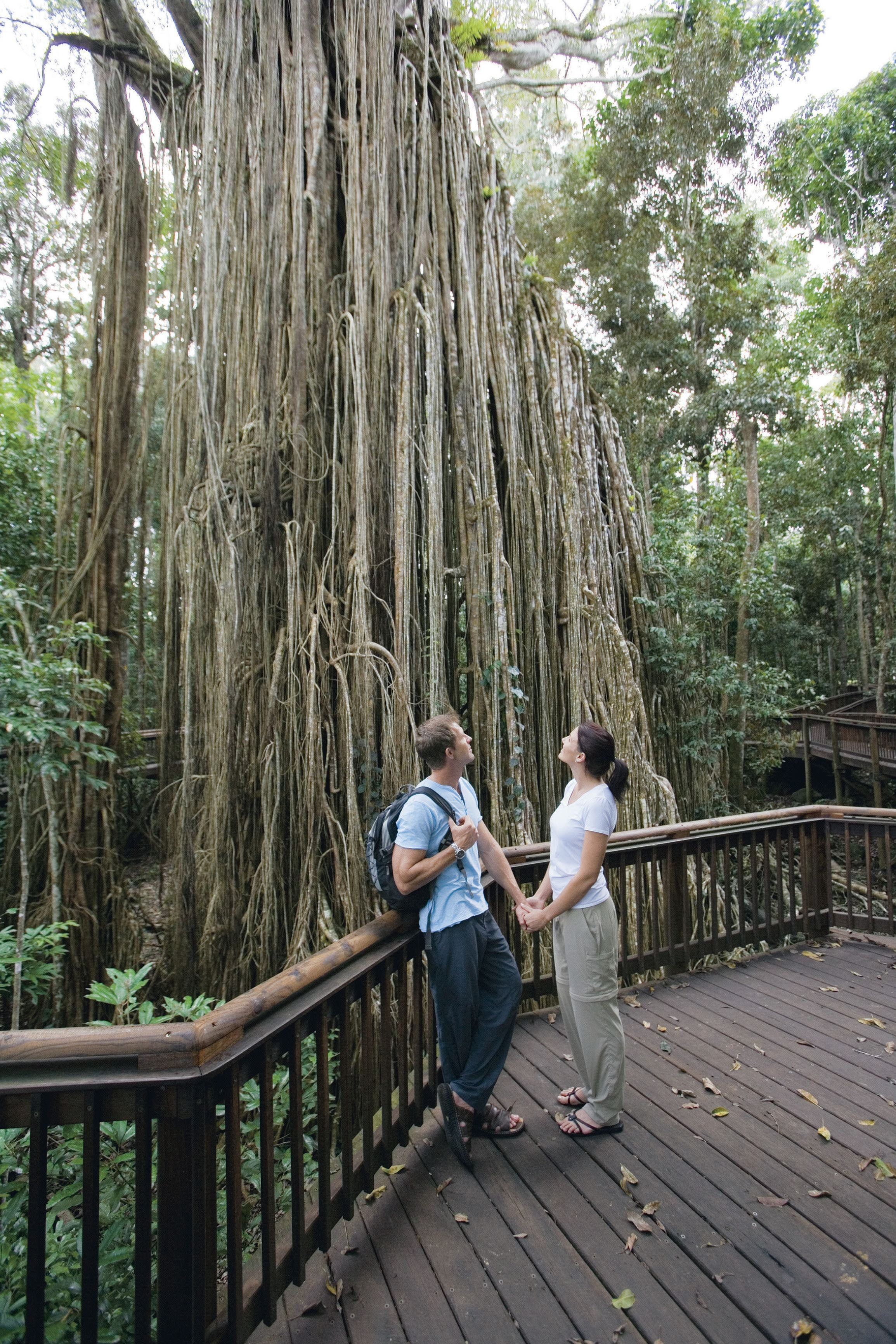 Curtain Fig Tree Yungaburra - Accommodation Georgetown
