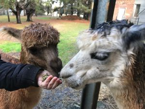 Alpaca Farm Experience at Crookwell - Accommodation Georgetown